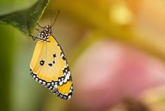 Beautiful Plain Tiger butterfly Danaus chrysippus perching on flower. Close-up stock image