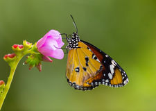 Beautiful Plain Tiger butterfly (Danaus chrysippus) perching on flower. Close-up royalty free stock images