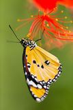 Beautiful Plain Tiger butterfly (Danaus chrysippus) perching on flower. Close-up stock photo