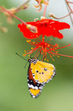 Beautiful Plain Tiger butterfly (Danaus chrysippus) perching on flower. Close-up stock images
