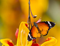 Beautiful Plain Tiger butterfly (Danaus chrysippus) perching on flower. Beautiful Plain Tiger butterfly (Danaus chrysippus) perching on thumbergia mysorensis stock photo