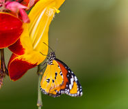 Beautiful Plain Tiger butterfly (Danaus chrysippus) perching on flower. Beautiful Plain Tiger butterfly (Danaus chrysippus) perching on thumbergia mysorensis royalty free stock images