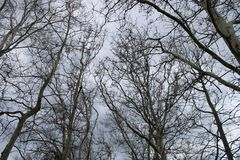 Beautiful plane trees. With cloudy sky royalty free stock photography