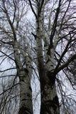Beautiful plane trees. Near Balatonfoldvar royalty free stock photography