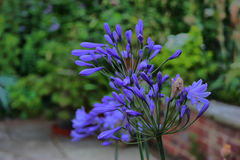 Beautiful plant with blue petals Royalty Free Stock Photo
