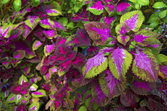 Beautiful plant with bright leaves and purple-veined. Beautiful plant with bright lilac sheets and streaks. Botanical Garden Royalty Free Stock Image