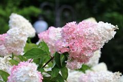 Beautiful white-pink hydrangea. Background. A beautiful plant, flowers are white-pink, inflorescence. Royalty Free Stock Photography