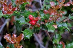 Beautiful plant with green-maroon leaves and small red berries royalty free stock images
