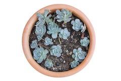 The beautiful plant ,Kalanchoe blossfeldiana, Flaming Katy. Royalty Free Stock Photo