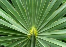 Beautiful plant leaf in botanic green house, sugar palm leaf det stock photos