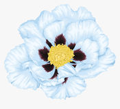 Beautiful Plant Paeonia arborea (Tree peony) white flower isolated on white. Stock Image