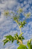 Beautiful plant with white small flowers against the sky with cl Stock Images