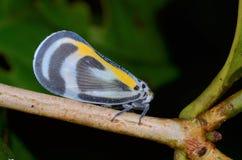 Beautiful Planthopper Stock Images