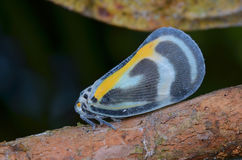 Beautiful Planthopper Royalty Free Stock Images
