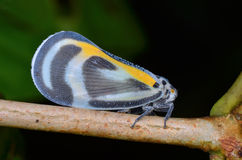 Beautiful Planthopper Royalty Free Stock Photo