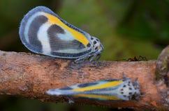 Beautiful Planthopper Royalty Free Stock Image