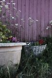 Beautiful plants and flowers in large pots in a garden next to a red wooden fence stock images