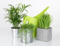 Beautiful plants and green watering can Stock Photo