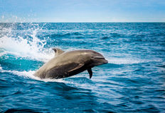 Beautiful playful dolphin jumping in the ocean Stock Images