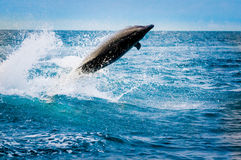 Beautiful playful dolphin jumping in the ocean. Galapagos islands stock photography
