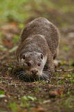 Beautiful and playful river otter from european water. Stock Images