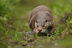 Beautiful and playful river otter from european water. Royalty Free Stock Photo