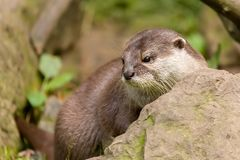 Animal European otter Lutra lutra stock photos