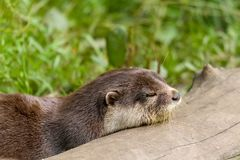 Animal European otter Lutra lutra stock images