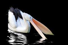 Plican bird on black background, plican bird. Beautiful plican bird on black background royalty free stock images