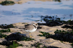 Beautiful plover Royalty Free Stock Photography