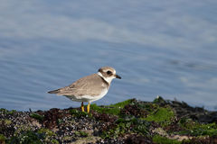 Beautiful plover Stock Photo
