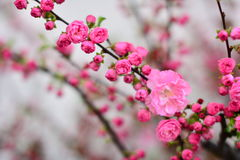 Beautiful plum blossom. Beautiful plum is not only colorful, fragrant and China, the history of many scholars praise it with poetry Royalty Free Stock Photos