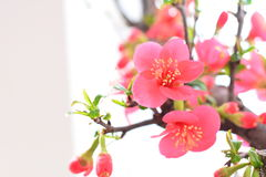 Beautiful plum blossom. Beautiful plum is not only colorful, fragrant and China, the history of many scholars praise it with poetry Royalty Free Stock Image