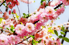 Beautiful plum blossom in spring Royalty Free Stock Image