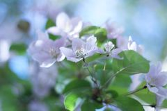 Beautiful plum blossoms Stock Photo