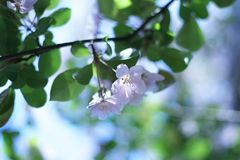 Beautiful plum blossoms Royalty Free Stock Photo