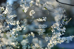 Beautiful plum blossoms in early spring Stock Images
