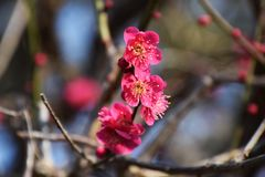 Plum blossoms. Beautiful plum blossoms in full bloom Stock Photo