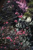 Plum blossoms. Beautiful plum blossoms in full bloom Royalty Free Stock Images