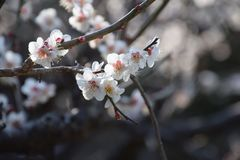 Plum blossoms. Beautiful plum blossoms in full bloom Royalty Free Stock Photo