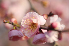 Beautiful plum flower. S bloom in spring Stock Image