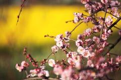 Beautiful plum flower. S bloom in spring stock photos