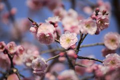 Beautiful plum flower. S bloom in spring Royalty Free Stock Photos