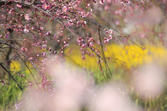 Beautiful plum flowers bloom Stock Images