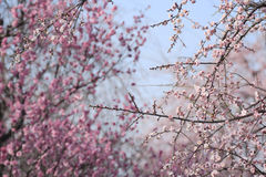Beautiful plum flowers bloom Royalty Free Stock Images