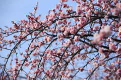Beautiful plum flowers bloom. In spring stock photography
