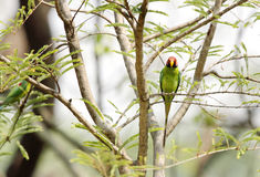 Beautiful Plum-headed Parakeet in Jim Corbett Stock Image