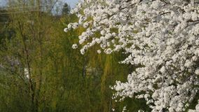 Plum tree beautiful blossom. Early spring stock video footage
