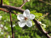 Beautiful plum tree flower in spring, Lithuania Stock Photos