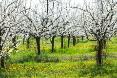 Beautiful plum tree orchard in spring blossom as season agriculture background in a dandelion and grass meadow. Beautiful plum tree orchard in spring blossom as stock images